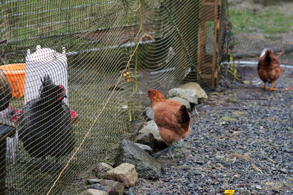 chickenrun_firsttimefarmers_dec102014